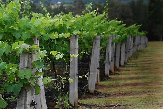 Tatler vines